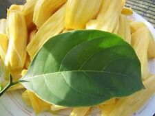 "~40"" tall Seedling Florida Giant Jackfruit Plant Tropical Flower Fruit Tree"