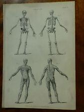 1874 GRAVURE ANATOMIE HUMAINE squelette os et les muscles squelettiques diagrammes