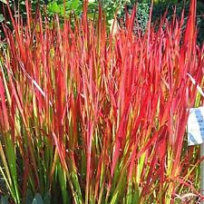 Japanese Blood Grass - Size: 1 Gallon - Live Potted Plants - Imperata Cylindrica