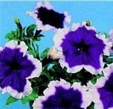 Petunia - Hulahoop Blue - 100 Seeds
