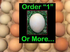 Chicken Hatching Eggs - Assorted Poultry Barn Yard Mix  - Fertile - EGG DAYS NOW