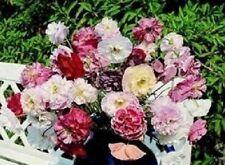 Flower - Papaver - Angel Choir - 500 Seeds - Large