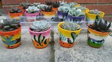 Set of 5 mixed echeveria plants, hand painted ceramic pots 6 cm