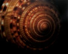 DORIS MITSCH PRINT - SUNDIAL SNAIL SHELL- 2003 /SCANNER PHOTOGRAPH - SCANOGRAPHY