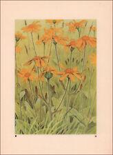 ARNICA, Alpine Flowers, Botantical by Paul Robert, vintage print authentic 1945