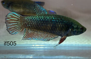 BEttA PLAkAt FiGhteR*** Indo BaGan**ToP QuALity**{Imported-FeMale}~[if505]