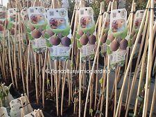 Piante di Fico Verde / Violetto - Ficus Carica Precoce de Dalmatie - Dalmazia