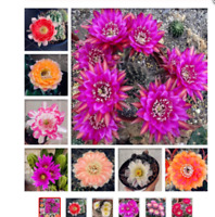 100 seeds  Cactus Rebutia Variety Flower Color Cacti Rare Cactus Bonsai Office