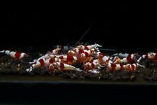 35 pcs S-SS CRS Crystal Red Shrimp Caridina Free Fedex Overnight