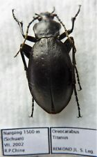 Carabus oreocarabus titanus (female A1) from CHINA (Carabidae)