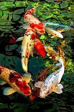 "3.25"" Sunset on Emerald pond with Japanese Koi Fish Art Print STICKER. Aquarium"
