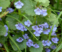 GROUND IVY Glechoma Hederacea - 500 Bulk Seeds