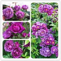 Rare Purple Rose Chinensis Rosa Flowers Bonsai Potted Plants 100 Pcs Seeds NEW A