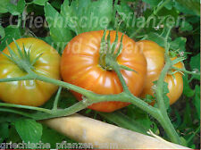 GIGNTESQUE Ukrainian Tomate * Riesen-Tomaten * 10 Samen