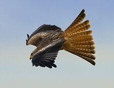 Red Kite POSTCARD Bird of Prey Photo Steve Greaves Print Card Wildlife Falconry