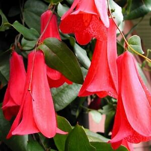 """Gorgeous, rare """"Chilean Bellflower""""! - Red Lapageria rosea - Fresh seeds"""