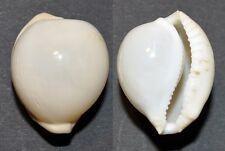 4020 Cypraea (Cypraeovula) cruickshanki - 30,48mm - f++/f+++ - Natal - NO WORDS!
