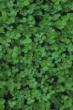 Vegetable Kings Seeds Pictorial Packet - Green Manures -  White Clover