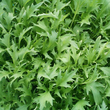 Vegetable Mizuna Appx 2000 seeds Oriental