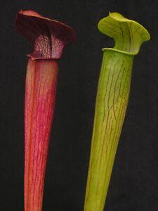 Carnivorous Sarracenia alata - Jackson Co., MS