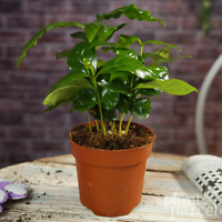 Coffee Arabica - House / Office Live Indoor Plant Gift - In 15cm Silver Pot