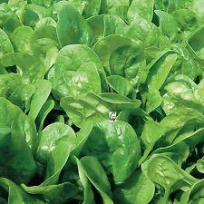 Palak Spinacia Oleracea Indian Spinach Hybrid Seeds 15 Grams 1000 Plus seeds