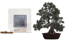 30 Japanese Black Pine Bonsai Seeds | Grow Your Own Bonsai Tree | Beginner Gift