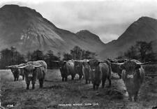 Highland Cattle Rovers The Invereggan Highlanders Glen Coe Argyllshire RP