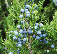 10 Fresh Juniper Branches with Juniper Berries - 18 inches long, Beautiful Decor