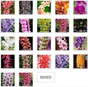 US- 20Pcs Mixed Colors Phalaenopsis Seeds Bonsai Balcony Flower Orchid Seeds