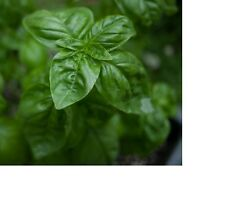 Genovese Basil Seeds  100+ Fresh Hand Packaged Seeds