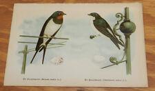 1895 Antique COLOR Bird Print/BARN SWALLOW & EUROPEAN MARTIN