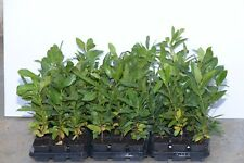 10 CHERRY LAUREL EVERGREEN HEDGING, POTTED 30-45CMS