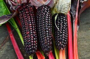 Mais Japanischer Streifenmais,Sehr selten, Saatgut 20+ Samen aus Eigenanbau