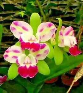 FRAGRANT! ~ Cattleya Orchid ~ Rlc. Yen Corona 'Green Genie'