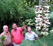 GIANT HIMALAYAN LILY Cardiocrinum Giganteum Yunnan Perennial 10 Large Seeds