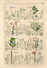 1842 HEATHER LING STRAWBERRY TREE BOG-ROSEMARY FLOWER Hand/Color Print Petermann