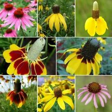200+ Conehead - Coneflower Seed Mix 7 Species of Wildflower Seeds Usa-Seller!