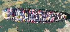 Corn Clico Blue Gemstone - A Beautiful Rainbow Colored Corn Variety!!!