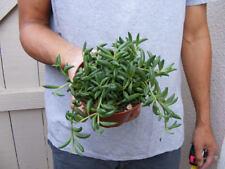 String of Bananas Succulent-Senecio - 4 inch pot