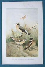 Original 1896 Natural History 6.5x10 Chromolithograph WHEATEAR