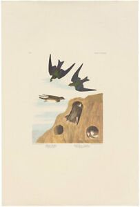 Audubon Amsterdam Ed Double Elephant Folio 1971 lithograph Pl 385 Bank Swallow