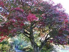 Ten Acer palmatum 'Osakazuki' Vivid scarlet in autumn