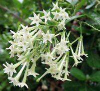 NIGHT BLOOMING JASMINE Fragrant Cestrum nocturnum Jessamine live starter plant
