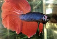 Betta Fish Giant HM Bicolor Blue, Red Monster Face (strong Colors)