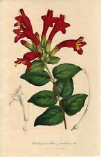 Stampa antica FIORI Aeschynanthus pulcher 1847 Old antique print flowers