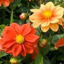 25 Dahlia Opera Orange Dwarf Dahlia Seeds Flower Seeds