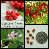 20 ORGANIC FIVE FLAVOUR BERRY SEEDS (Schisandra chinensis) Edible Medicinal Herb
