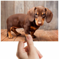 "Dachshund Miniature Puppy Small Photograph 6"" x 4"" Art Print Photo Gift #2731"