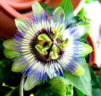Winterharte Passionsblume, passiflora caerulea , MARACUJA, orange Früchte, süß